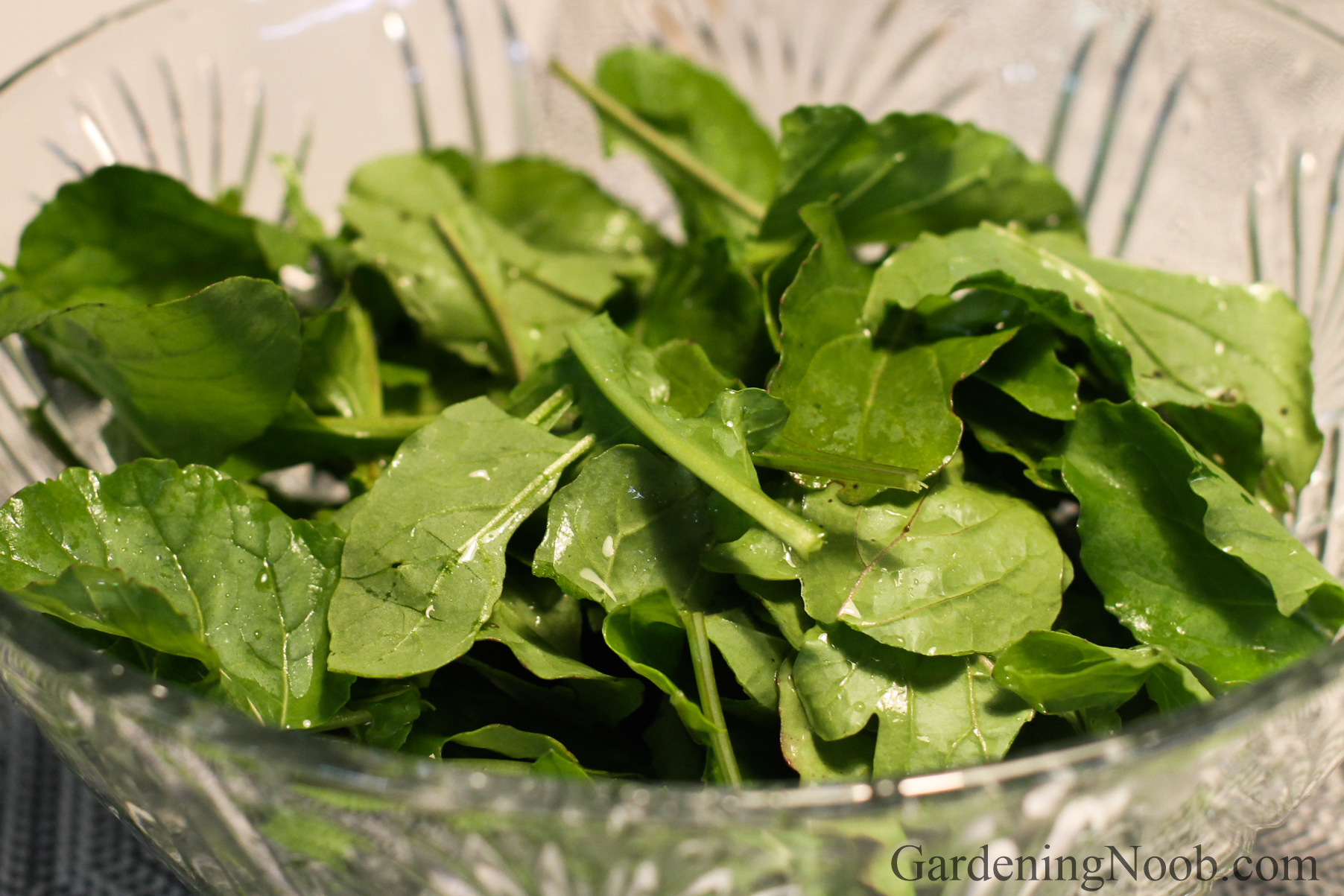 Arugula in a salad bowl...