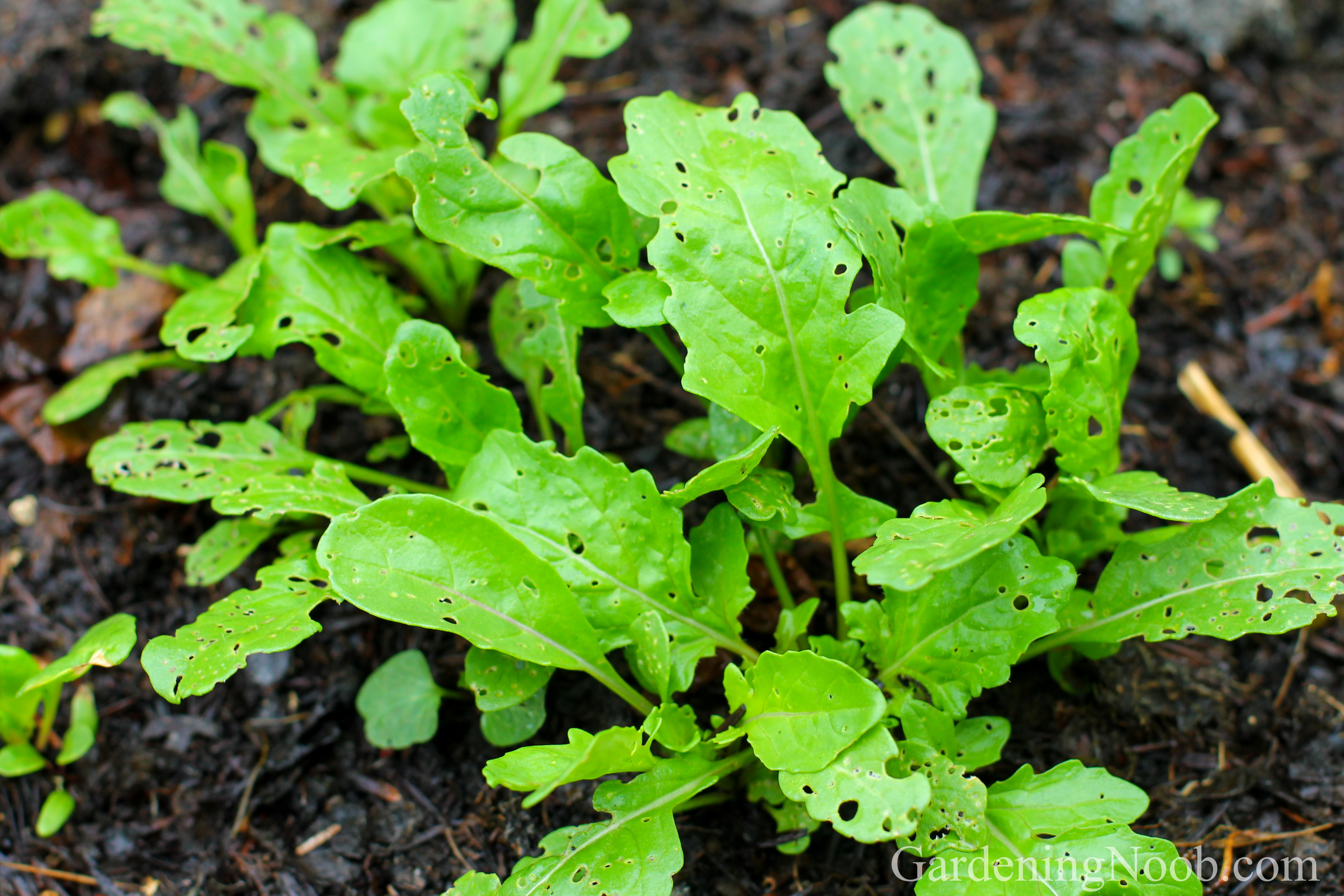 Discover when would be the best time to plant arugula...