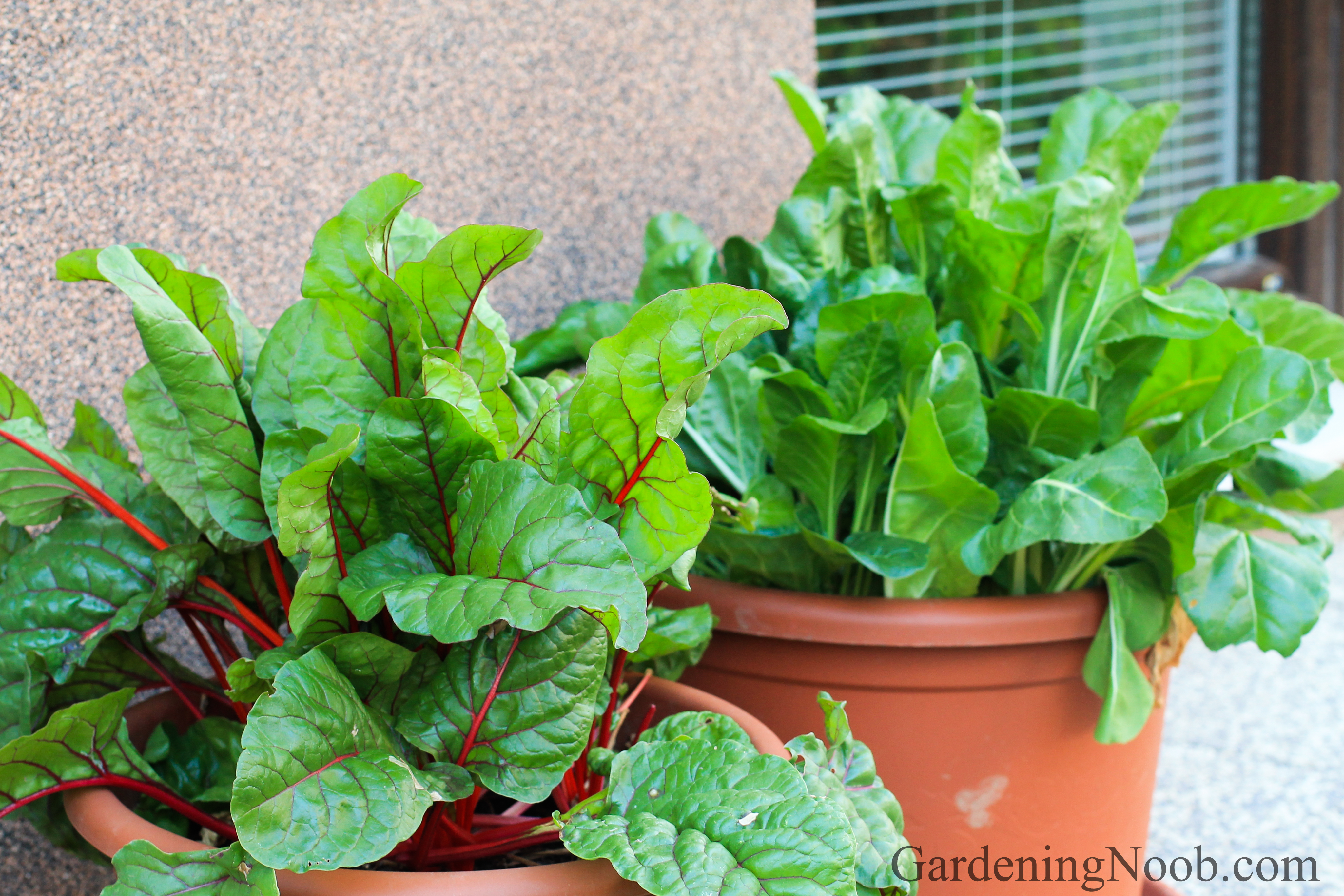 Chard is edible as well as ornamental...